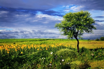 blue sky , green fields , sunflowers , Indai , photography