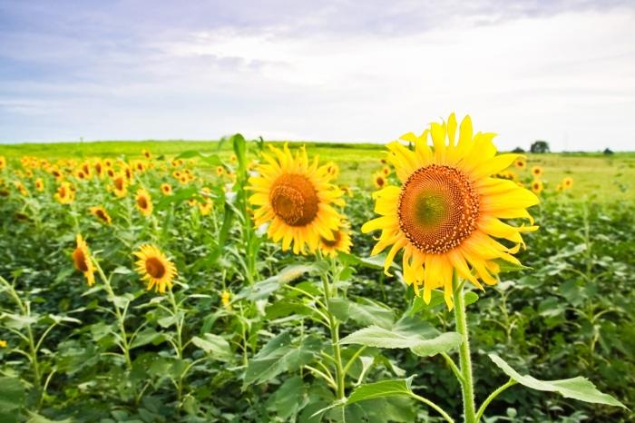 sunflowers 117-1crop